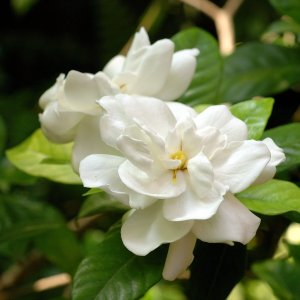 fiori gardenie