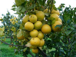 bergamotto pianta